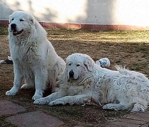 Il Cane Da Pastore Maremmano Abruzzese Allevamento Pastore