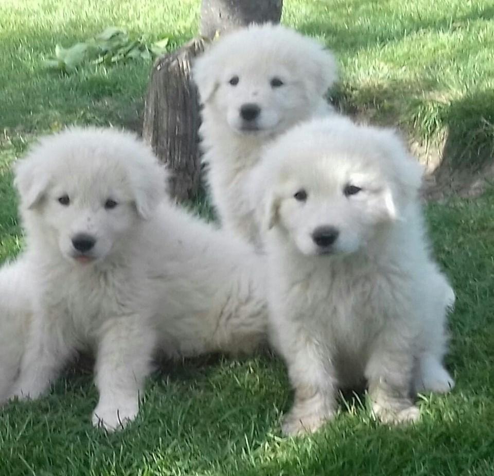 Cuccioli/Puppies  nati/born 05-05-2019              ( Brenno X Tremenda )